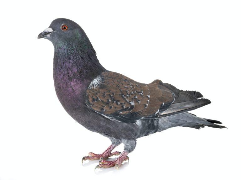 Cauchois pigeon in studio