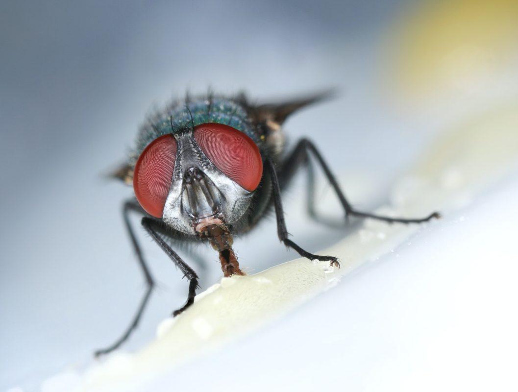 Housefly eating sweet