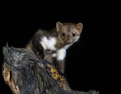 Stone marten on tree trunk